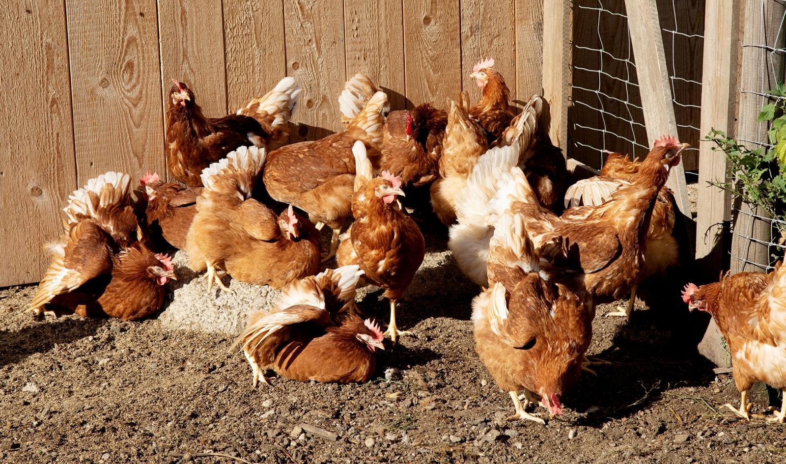 Ringlerhof Hofladen täglich frische Eier für Großabnehmer mit LIeferung