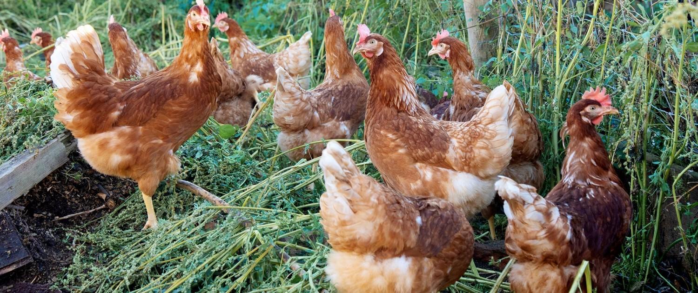 tägliche frische Eier aus Bodenhaltung vom Ringlerhof in Bad Tölz